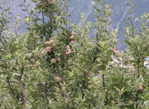 Lockdown has Kashmir apple growers see biz go 'red'