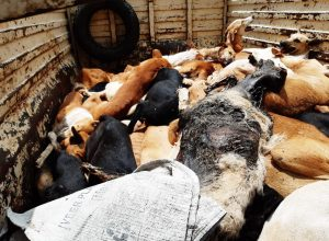 150 dogs dead at Hyderabad: NGO files complaint against GHMC birth control centre
