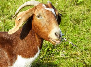 Goat eats Haritha Haram sapling, owner punished