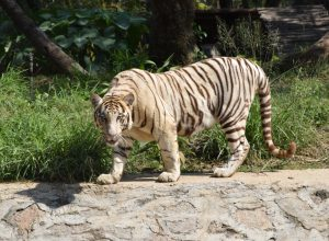 White tiger at Nehru Zoo dies while undergoing treatment