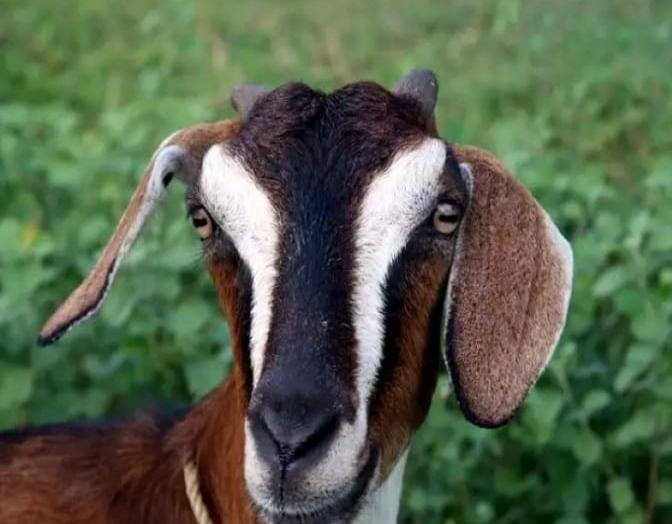 Owner Fined Rs 500 after goat eats Haritha haram plants
