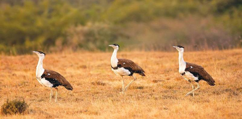 Changes in habitat killing the Indian Bustard