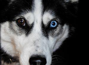 KCR's pet dog Husky dies, case booked against vet: BJP calls it a cruel joke
