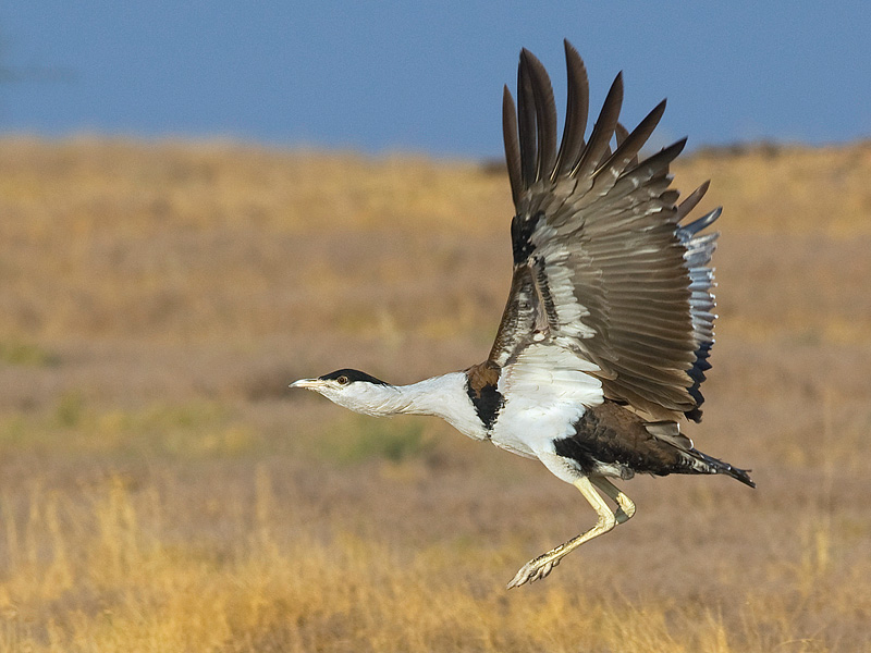 save-great-indian-bustard