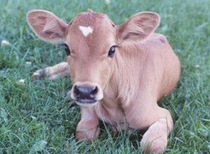 Youth held for raping a calf in Nizamabad, Telangana