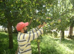 Kashmiri apple growers caught between the militants and the government
