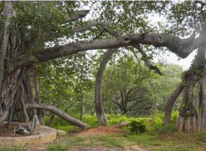 Second-life for 700-year-old 'Pillalamarri'banyan tree