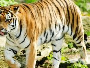 Will new tiger conservation guidelines stop Hyderabad's last hunter?
