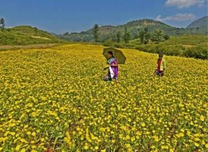 Araku gets back its glitter as niger flowers bloom in valley