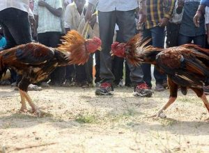 Sankranti: Godavari districts prepare for multi-crore bloody cockfights