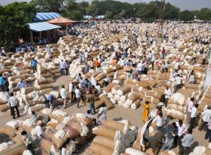Cotton farmers' woes: Transparency missing in cotton purchase