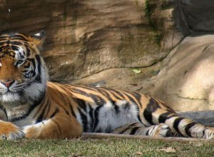 Chennur forest officials spot three tigers instead of one