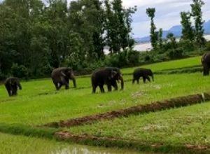 Elephants flare up tension between Andhra-Odisha border villages
