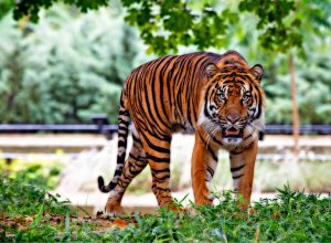 Country lost 655 tigers in six years; experts blame poaching and development