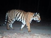 India's tiger walks into the record books for ' longest walk ever'