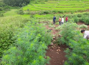 Drones, satellites being used to destroy ganja cultivation in Vizag region