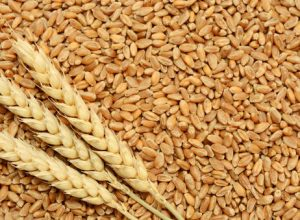 India's wheat production set to rise by 10%: Study