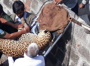 Leopard strays into Shadnagar near Hyderabad, triggers panic