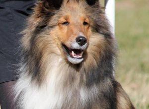 Pet dog of Meridian breed stolen from Yellareddyguda