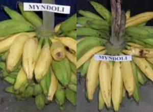 Goa's Myndoli Banana may get GI tag soon