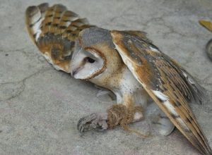 Endangered barn owl rescued at Thanampalli forest of Andhra Pradesh
