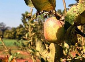 Soil, weather in Vizag Agency not fit for apple cultivation: Researchers