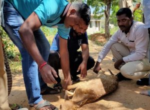 Taskforce team rescues spotted deer from wild dogs