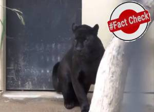 Fact Check: Did locals spot black panther at Golconda mosque?