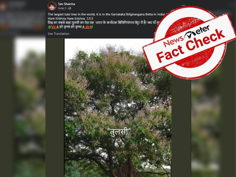 Fact check:  Viral image of `worlds largest Tulsi turns out to be mango tree.