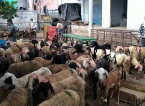 Pandemic hits goat markets of Hyderabad, dampens Bakrid spirit