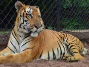 11-year-old Royal Bengal tiger dies at Hyderabad's Nehru Zoological Park