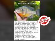Fact Check: Viral claims that Bluegill is most dangerous fish in North America are FALSE