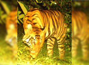 Tigress 'I' crosses into Adilabad for the 3rd time in search of suitable habitat