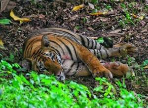 Tigress kills Gond tribal women who happens to be mother of animal tracker