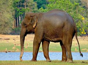 Andhra Pradesh elephant attack: 21 people died since 2014