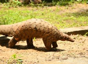 Pangolin poaching racket busted, 10 of a gang booked by Telangana forest officials