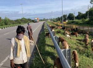 Fodder shortage force shepherds to migrate from erstwhile Mahabubnagar